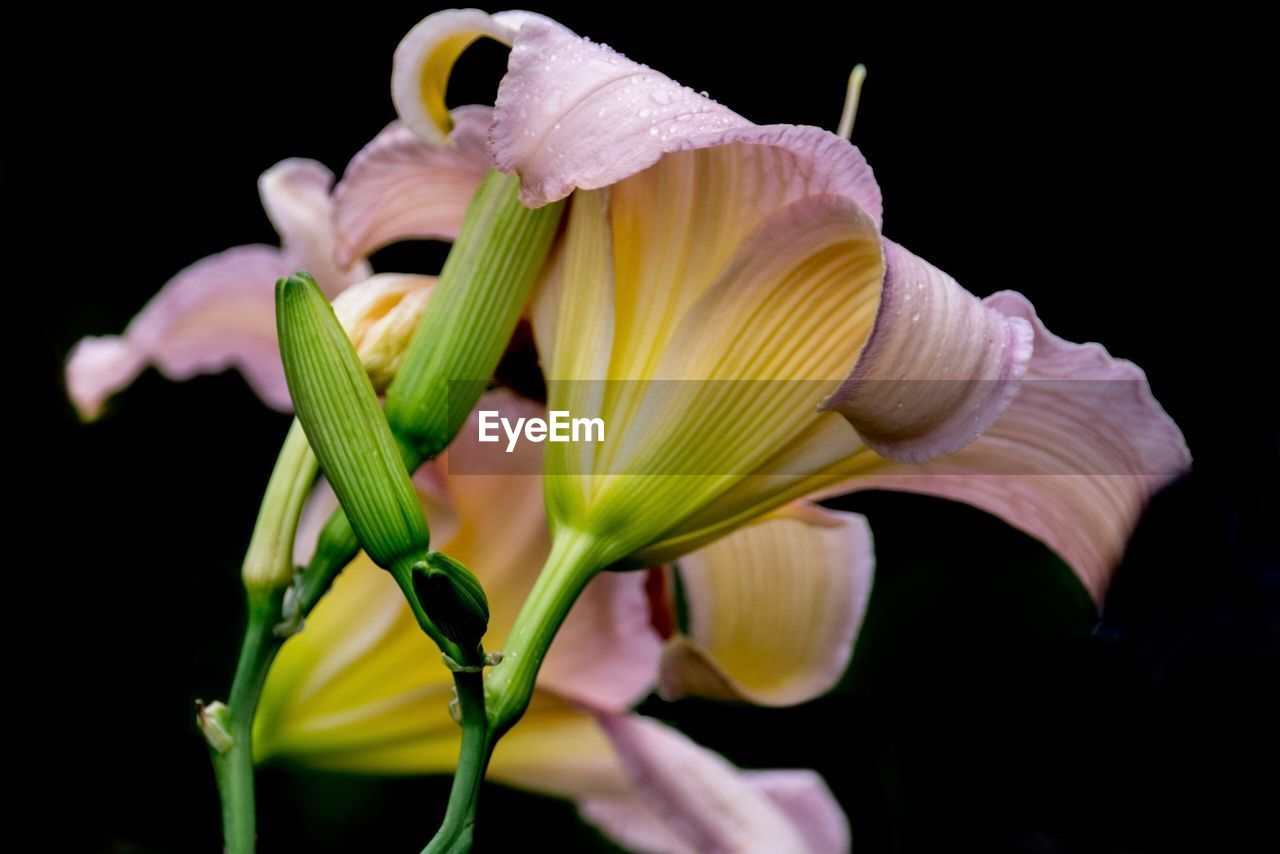 flowering plant, flower, vulnerability, fragility, petal, plant, beauty in nature, freshness, inflorescence, flower head, growth, close-up, studio shot, black background, nature, no people, yellow, selective focus, botany, lily, pollen, springtime, sepal