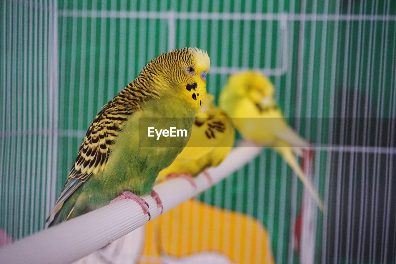 animal themes, bird, animal, budgerigar, parakeet, animal wildlife, vertebrate, cage, parrot, yellow, animals in captivity, group of animals, animals in the wild, birdcage, perching, human hand, hand, close-up, human body part, two animals, outdoors, finger
