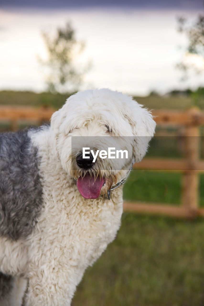 dog, canine, domestic, pets, domestic animals, animal themes, animal, one animal, mammal, focus on foreground, vertebrate, white color, hair, animal hair, facial expression, no people, day, mouth open, nature, mouth, outdoors, animal tongue, animal mouth