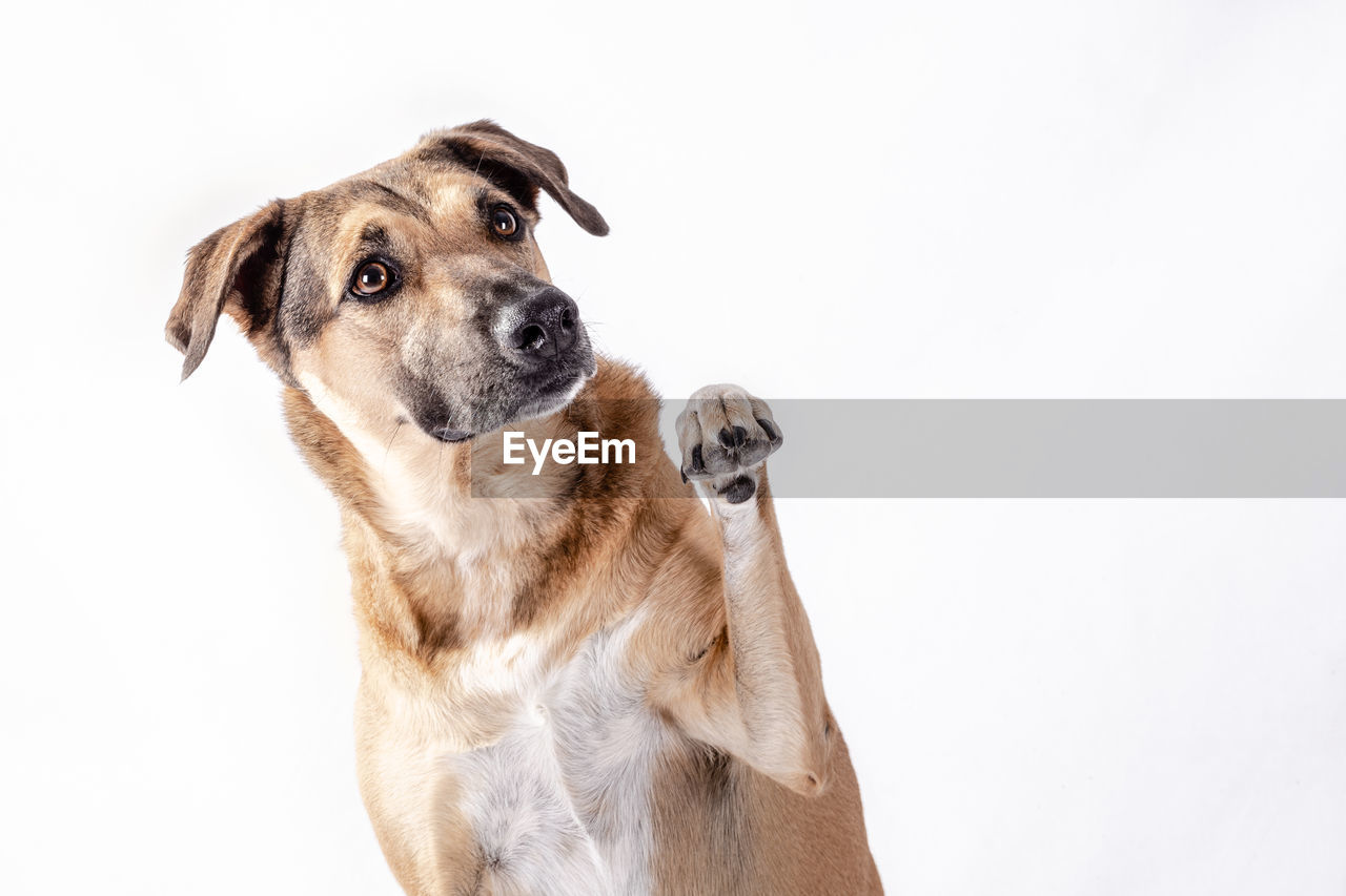 CLOSE-UP PORTRAIT OF DOG OVER WHITE BACKGROUND