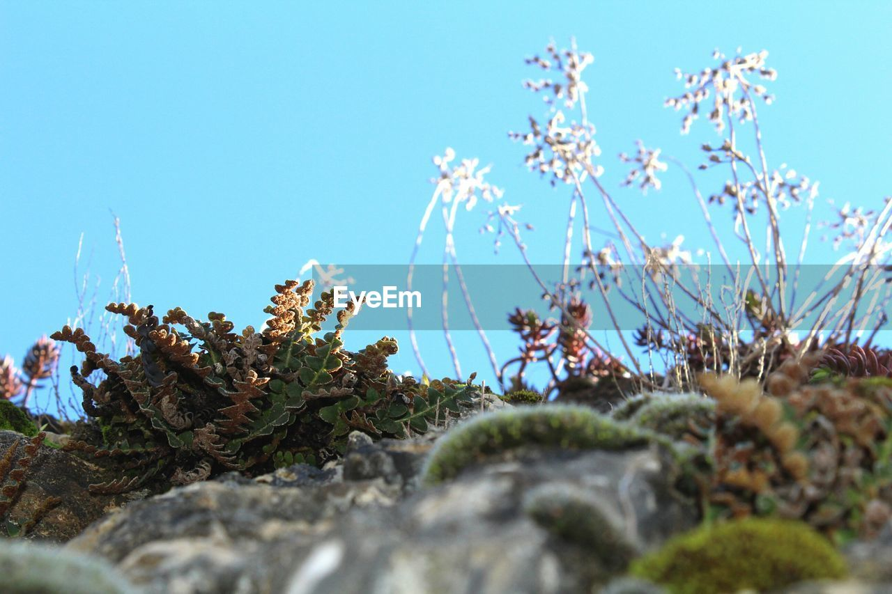 nature, growth, plant, clear sky, day, beauty in nature, blue, flower, no people, outdoors, rock - object, low angle view, fragility, sky, tree, freshness, close-up