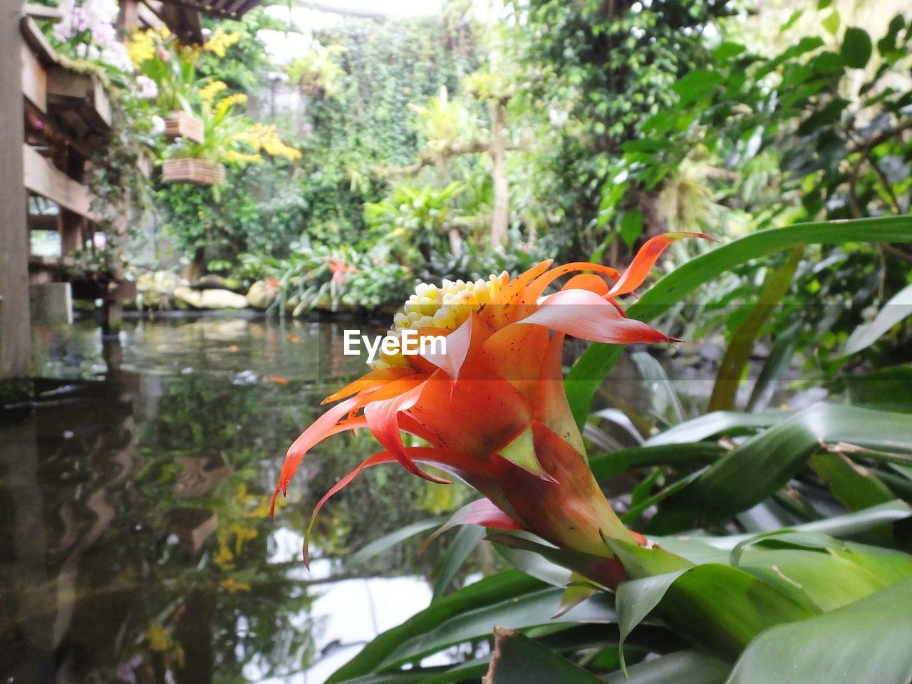 growth, orange color, nature, beauty in nature, petal, flower, fragility, day, flower head, freshness, plant, outdoors, blooming, leaf, no people, close-up, water, day lily