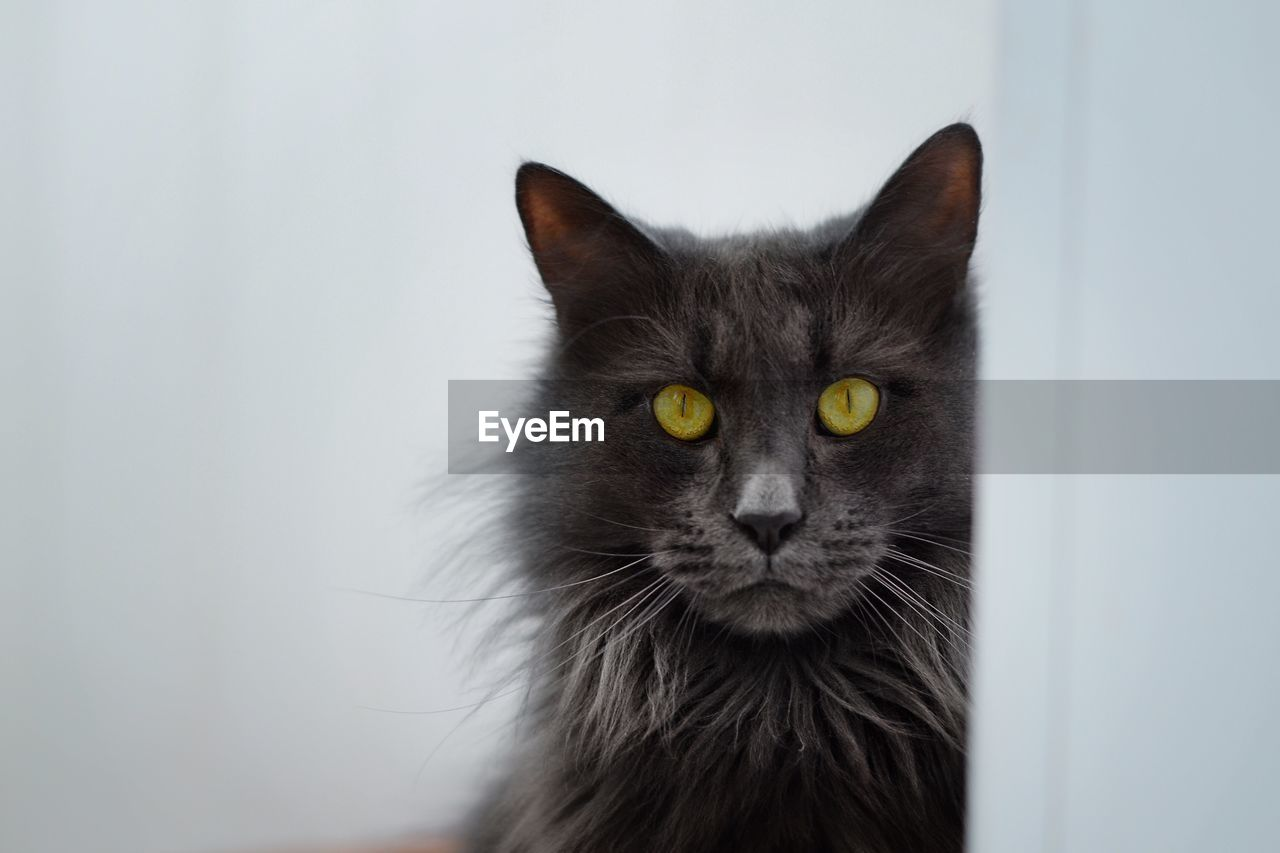 cat, pets, domestic cat, domestic, domestic animals, feline, animal, one animal, animal themes, mammal, vertebrate, portrait, no people, close-up, indoors, animal body part, looking at camera, whisker, yellow eyes, focus on foreground, animal head, animal eye