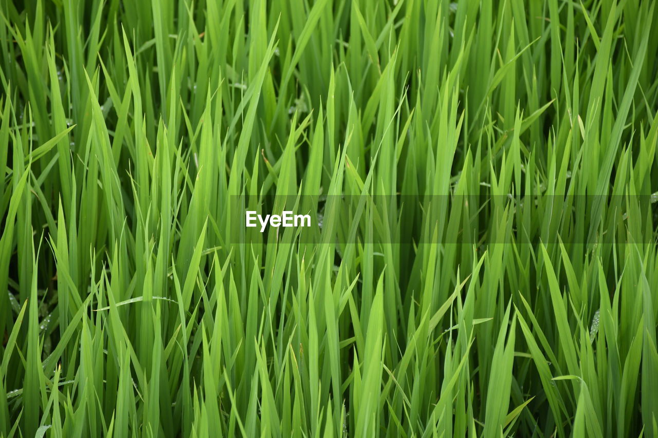 green color, full frame, growth, backgrounds, plant, field, land, grass, no people, beauty in nature, nature, agriculture, landscape, day, farm, rural scene, crop, tranquility, cereal plant, close-up, outdoors, blade of grass, plantation