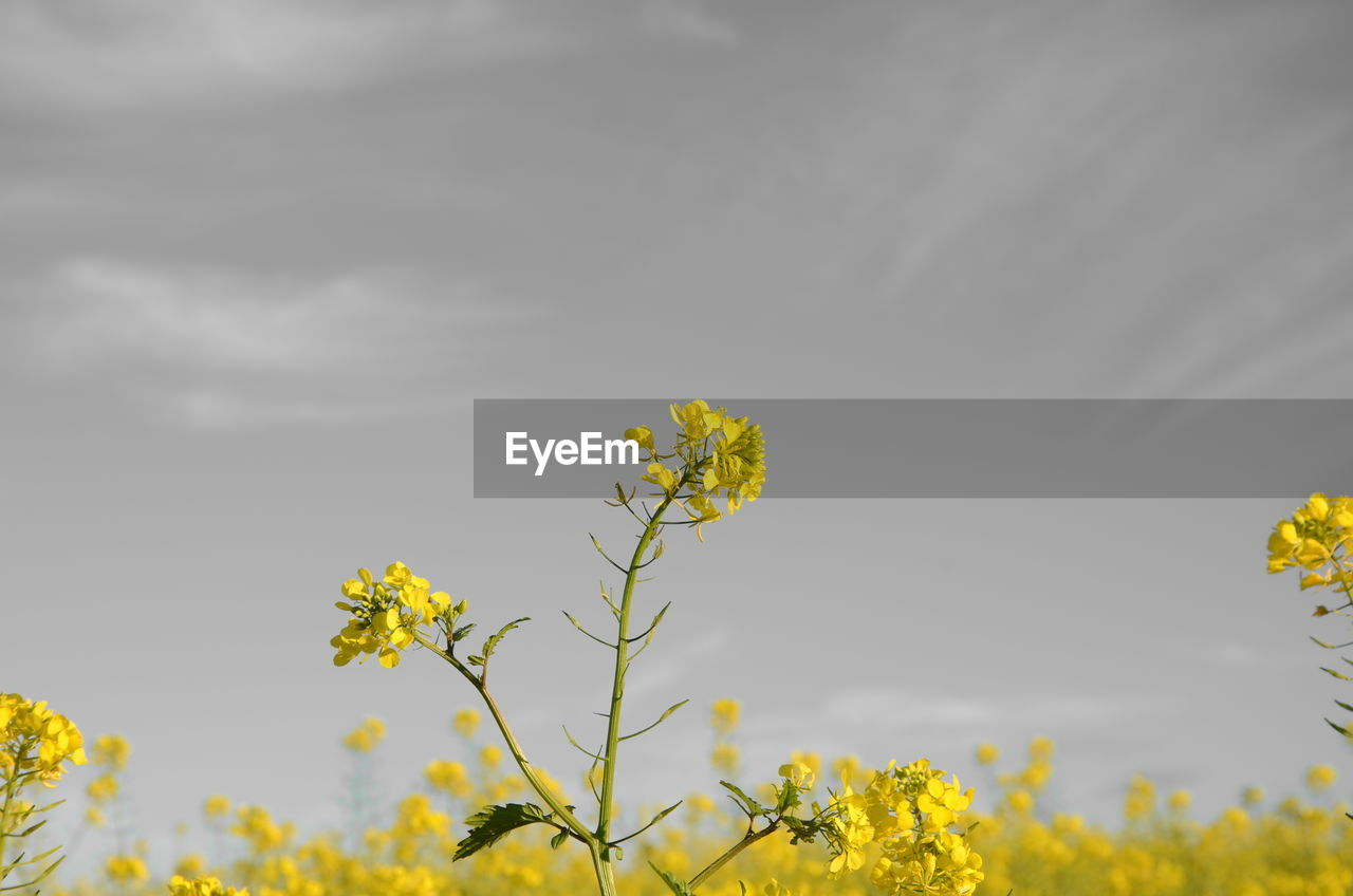 flower, yellow, nature, growth, fragility, oilseed rape, beauty in nature, blossom, mustard plant, field, plant, blooming, freshness, no people, outdoors, flower head, sky, day