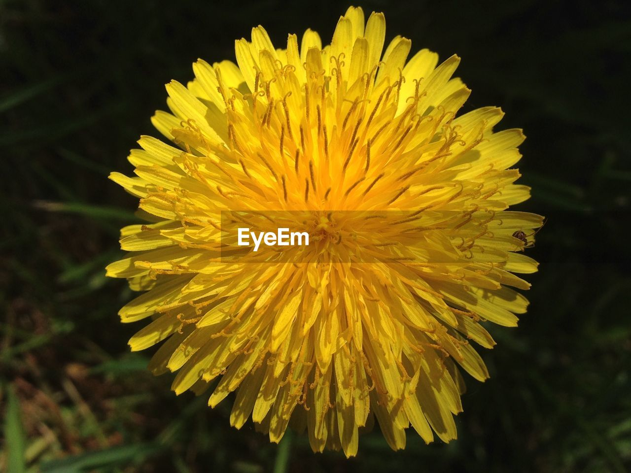 Close-Up Of Yellow Dandelion