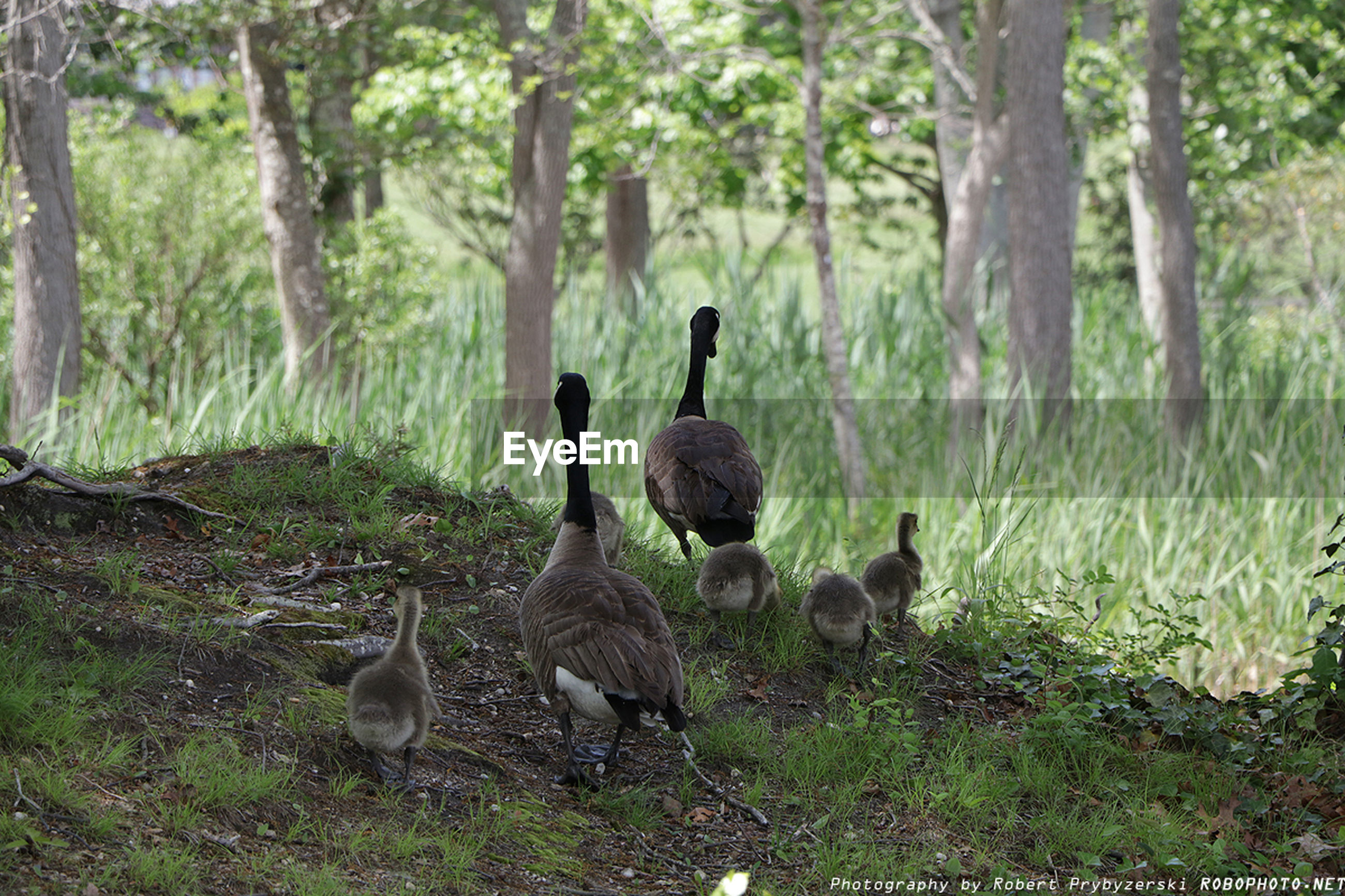 animal themes, animals in the wild, wildlife, bird, grass, field, nature, tree, forest, duck, growth, grassy, animal family, togetherness, young animal, tree trunk, outdoors, day, two animals