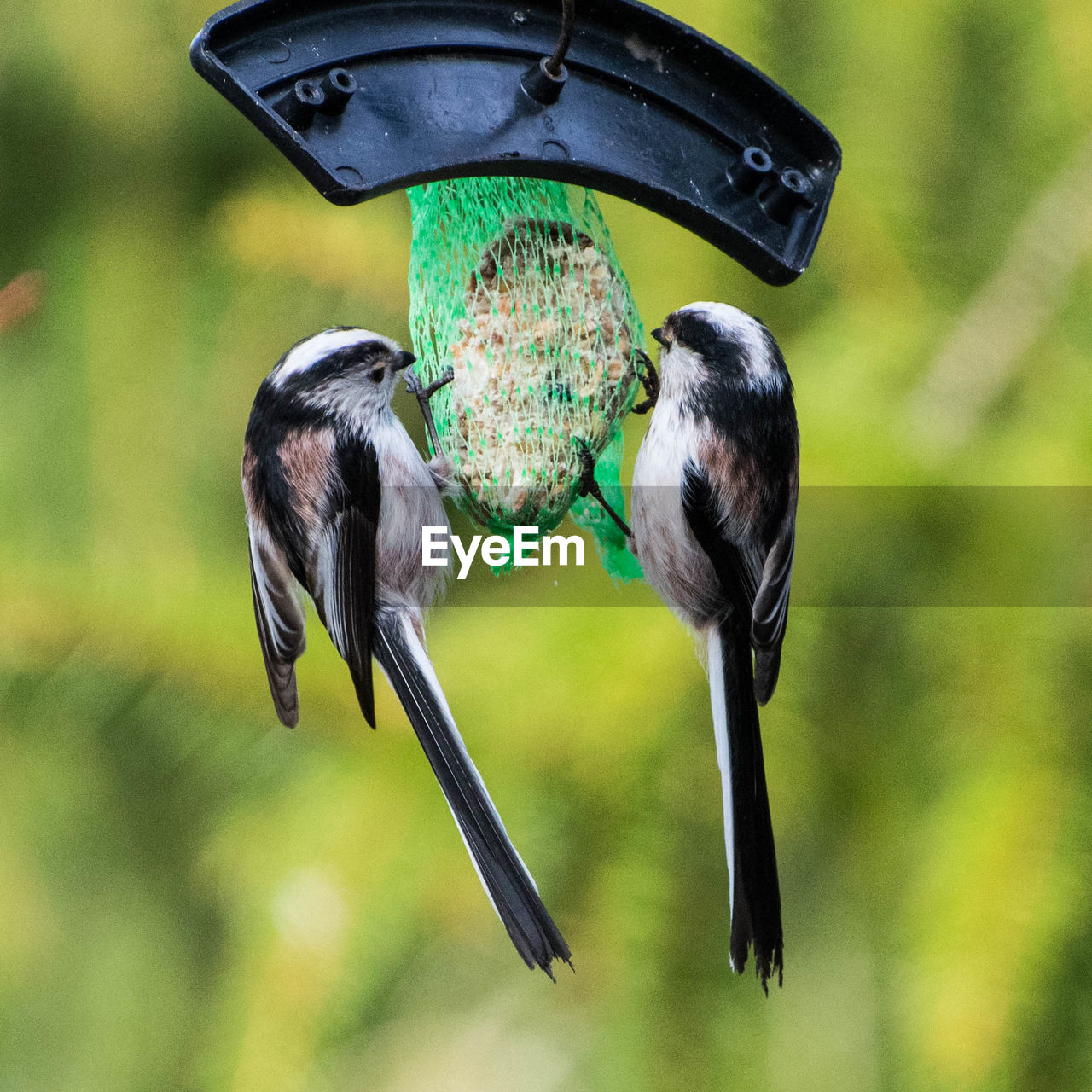 bird, focus on foreground, bird feeder, animal themes, animal wildlife, vertebrate, animal, animals in the wild, group of animals, close-up, day, two animals, no people, nature, outdoors, flying, tree, great tit