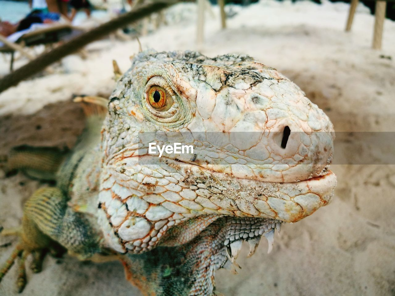 animal, vertebrate, animal themes, one animal, reptile, close-up, focus on foreground, lizard, animal wildlife, animals in the wild, day, animal body part, no people, animal head, nature, iguana, outdoors, natural pattern, side view, animal scale, animal eye
