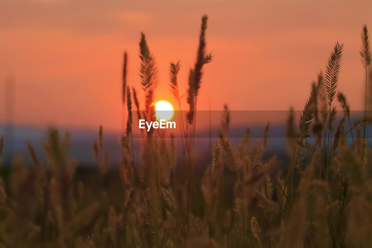 sunset, beauty in nature, plant, growth, sky, orange color, tranquility, scenics - nature, sun, nature, tranquil scene, no people, field, close-up, land, crop, focus on foreground, agriculture, idyllic, outdoors, stalk, romantic sky