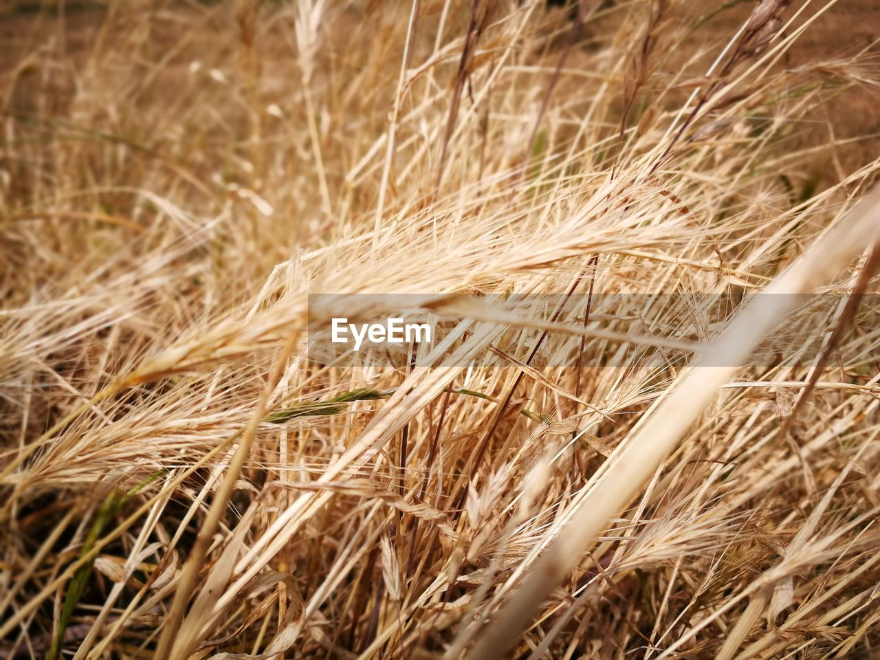 cereal plant, agriculture, wheat, crop, growth, field, nature, straw, farm, ear of wheat, plant, rural scene, grass, no people, outdoors, rye - grain, day, close-up, timothy grass, beauty in nature