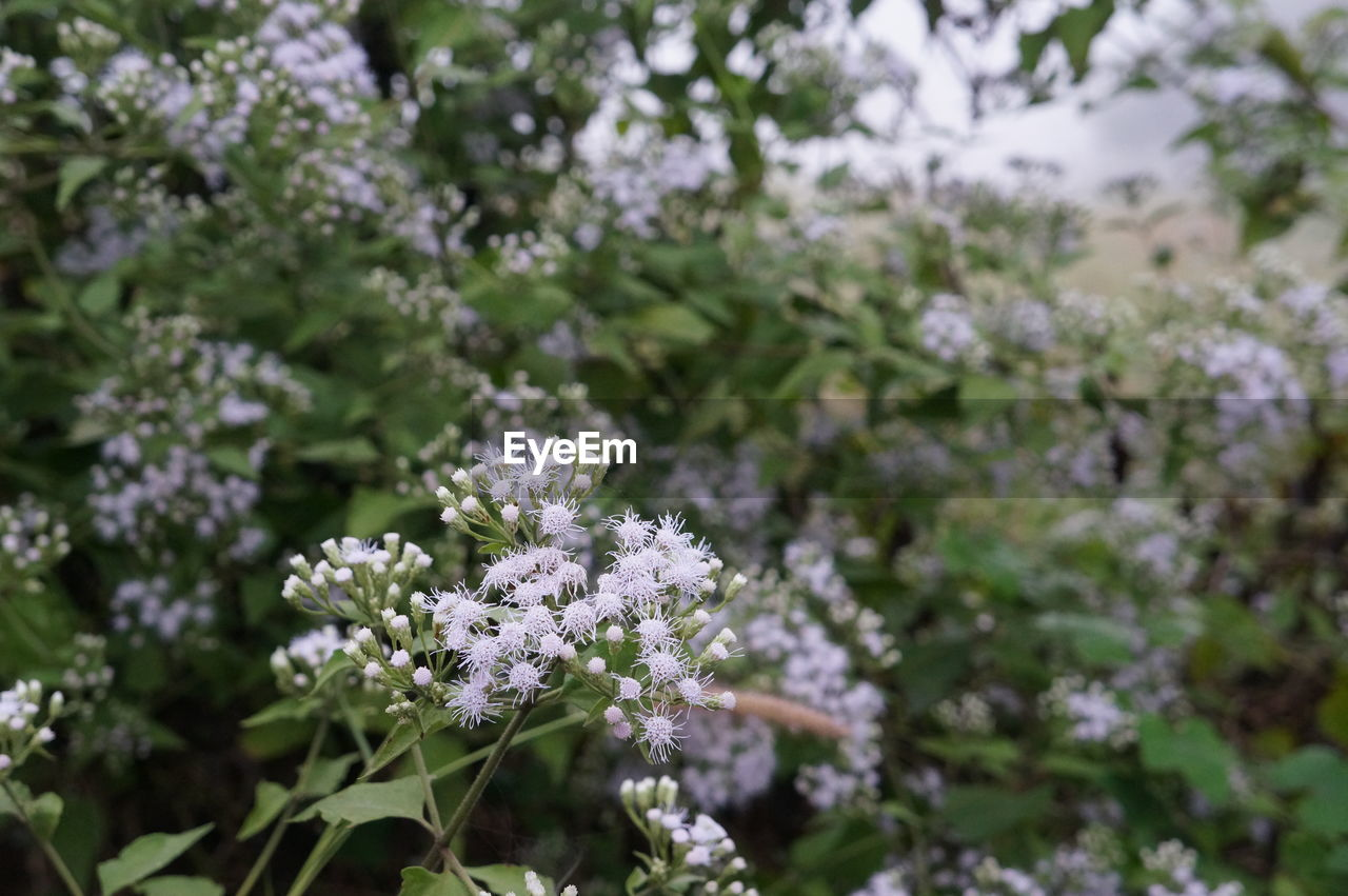 flower, flowering plant, plant, beauty in nature, fragility, vulnerability, growth, freshness, day, no people, selective focus, nature, close-up, focus on foreground, flower head, white color, outdoors, inflorescence, petal, tranquility, lilac, purple