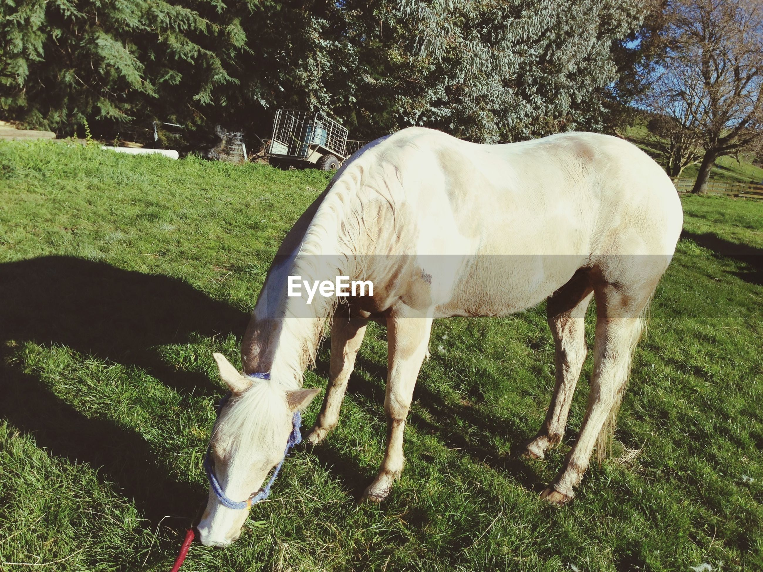 animal themes, domestic animals, mammal, grass, livestock, horse, field, one animal, tree, grazing, standing, herbivorous, green color, white color, grassy, nature, two animals, full length, side view, day