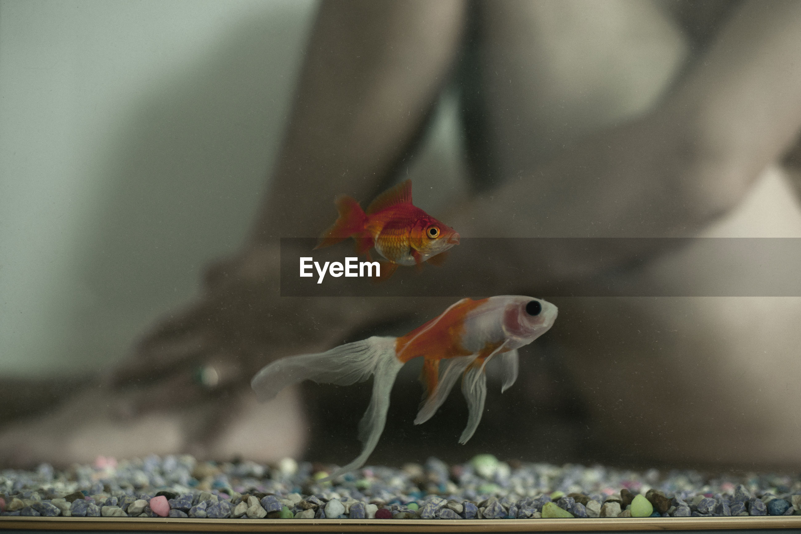 Close-up of fish swimming in tank with naked man sitting in background