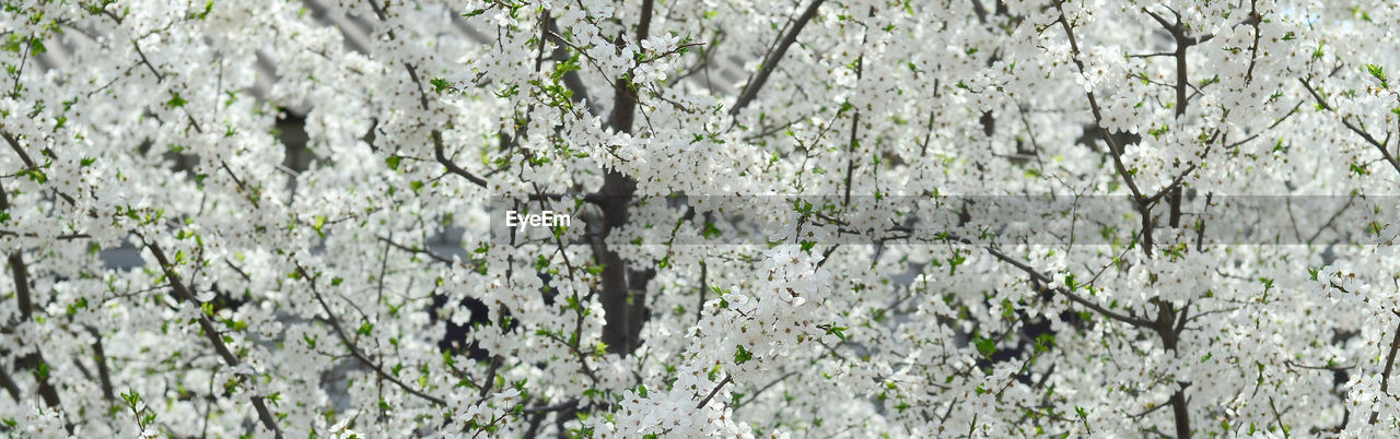 plant, growth, tree, nature, beauty in nature, no people, day, full frame, flowering plant, flower, close-up, branch, fragility, outdoors, vulnerability, freshness, backgrounds, springtime, low angle view, white color, cherry blossom