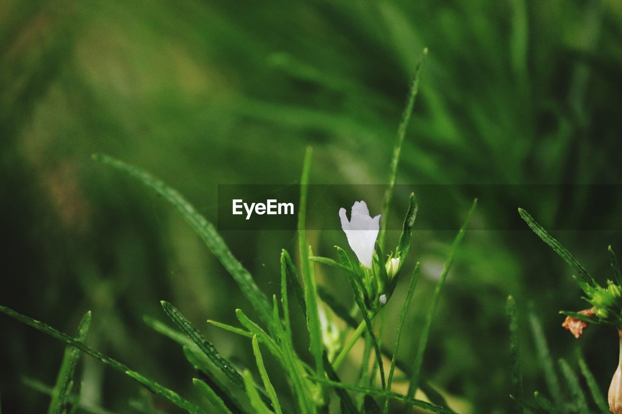 growth, plant, beauty in nature, freshness, flower, flowering plant, fragility, vulnerability, green color, close-up, nature, no people, day, selective focus, land, field, focus on foreground, white color, petal, outdoors, flower head, blade of grass, spring