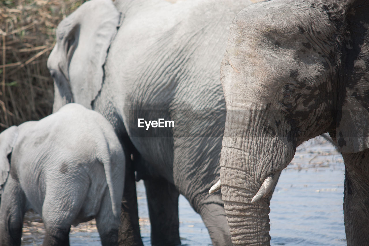Elephants Wading In River