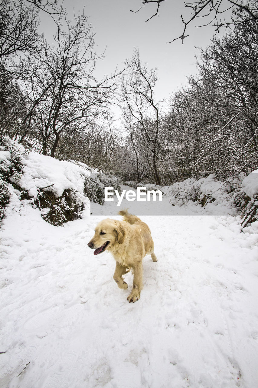 High angle view of dog walking on snow covered field during winter