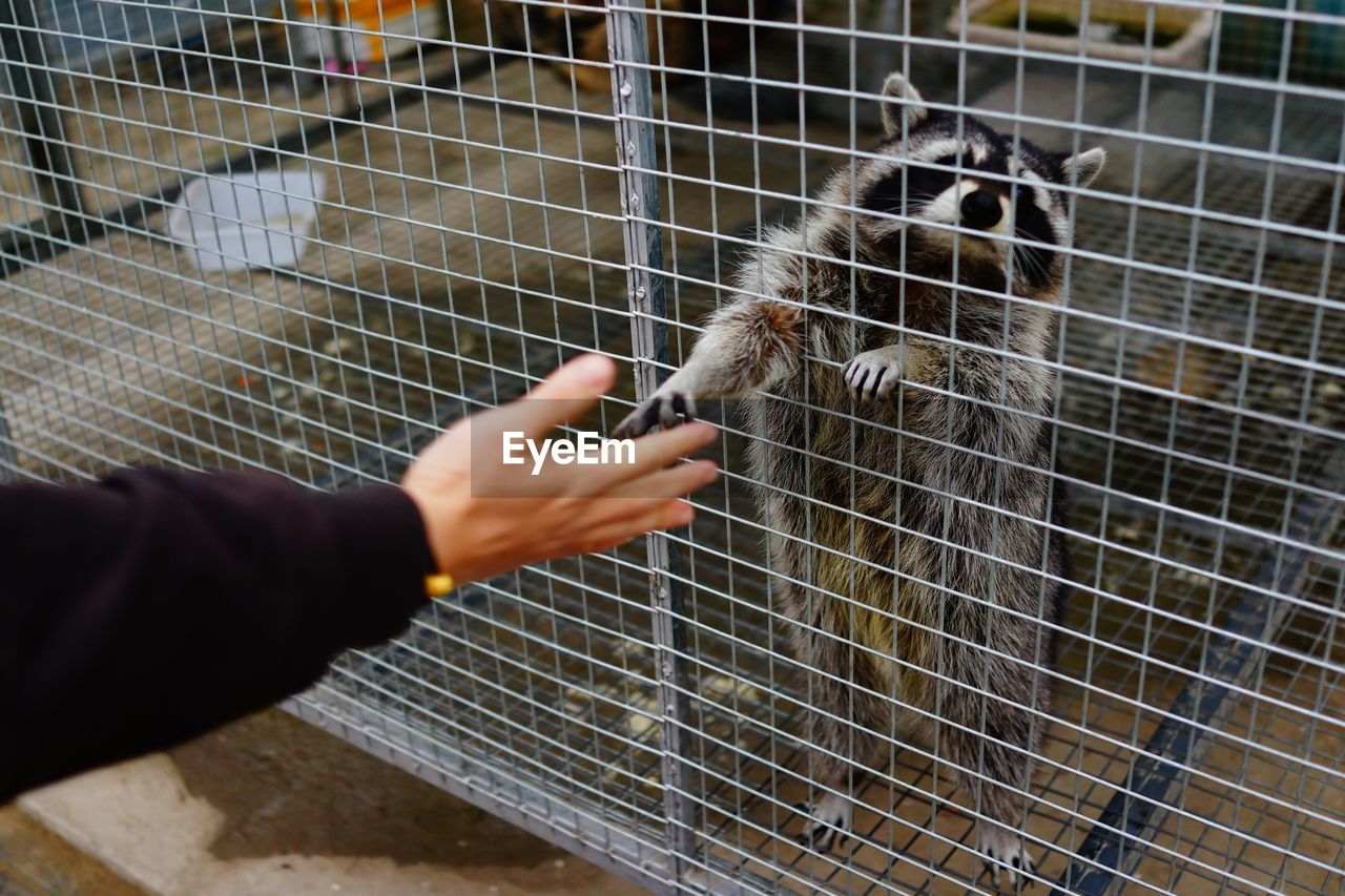Cropped hand reaching raccoon in cage