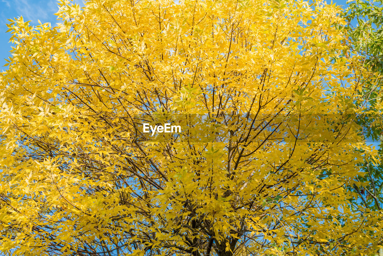 yellow, autumn, tree, change, leaf, nature, beauty in nature, growth, day, no people, outdoors, flower, close-up, backgrounds, low angle view, freshness, fragility, branch