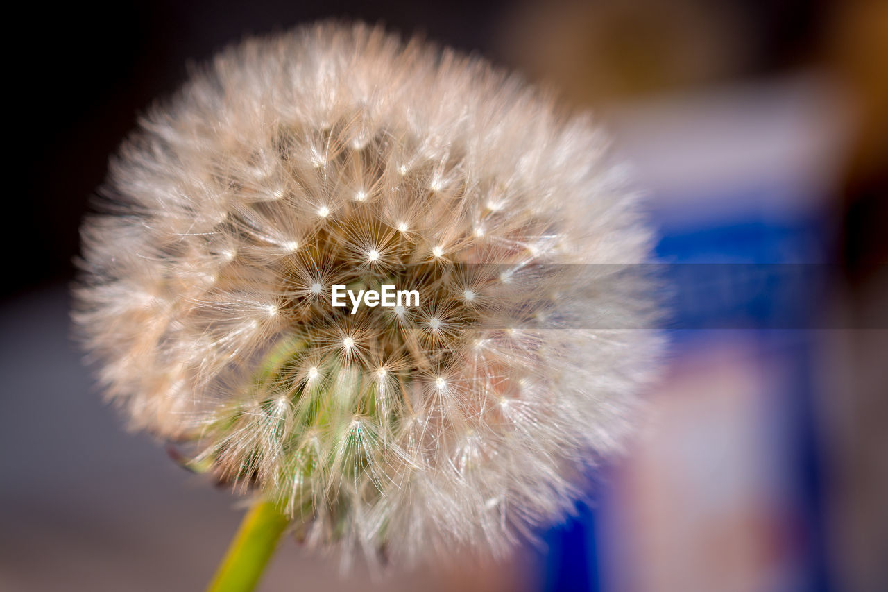 flower, dandelion, fragility, focus on foreground, close-up, softness, flower head, nature, beauty in nature, freshness, white color, growth, no people, outdoors, plant, day
