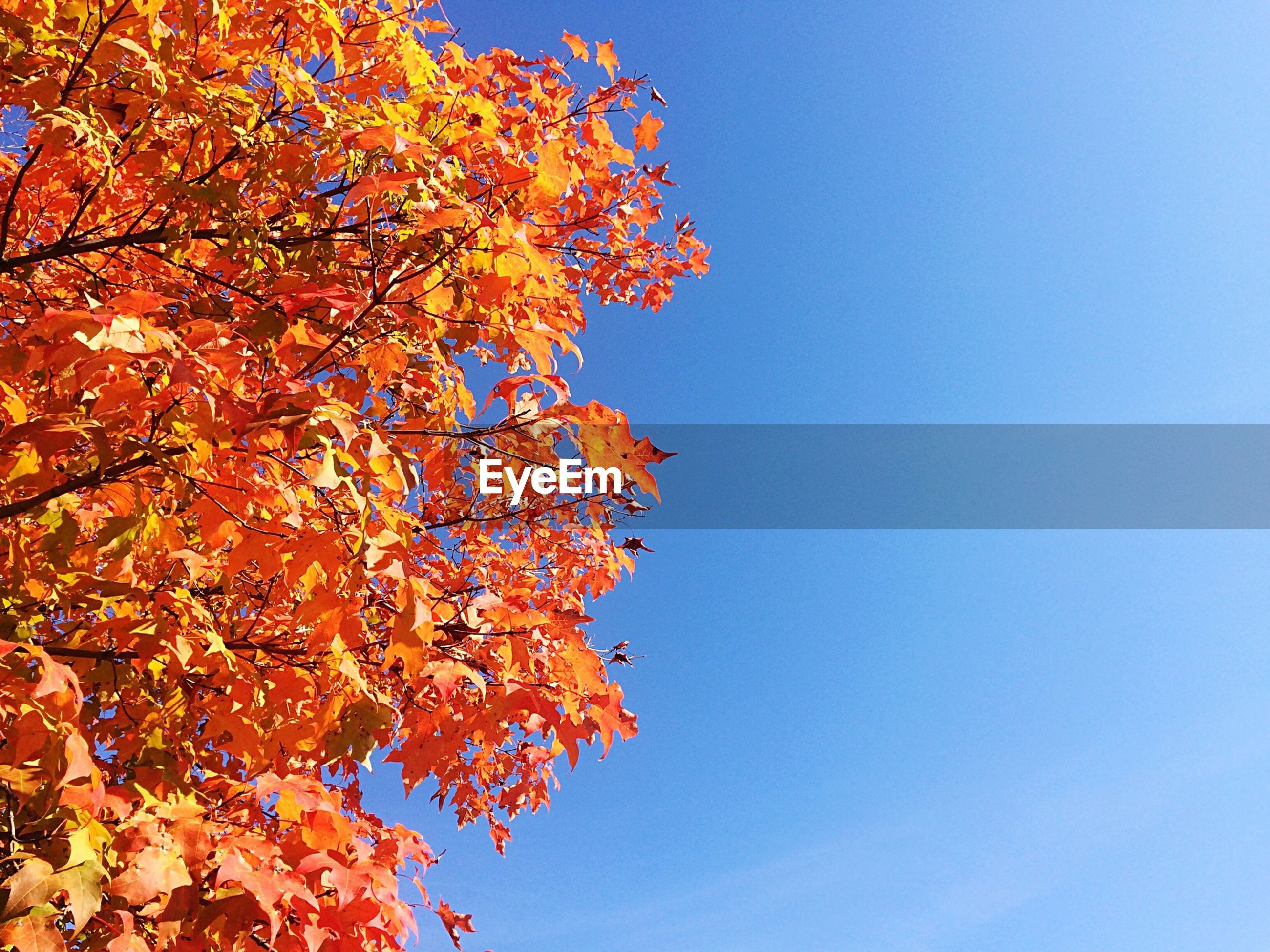 clear sky, autumn, tree, change, branch, low angle view, season, beauty in nature, orange color, nature, blue, growth, tranquility, copy space, scenics, tranquil scene, red, leaf, no people, outdoors