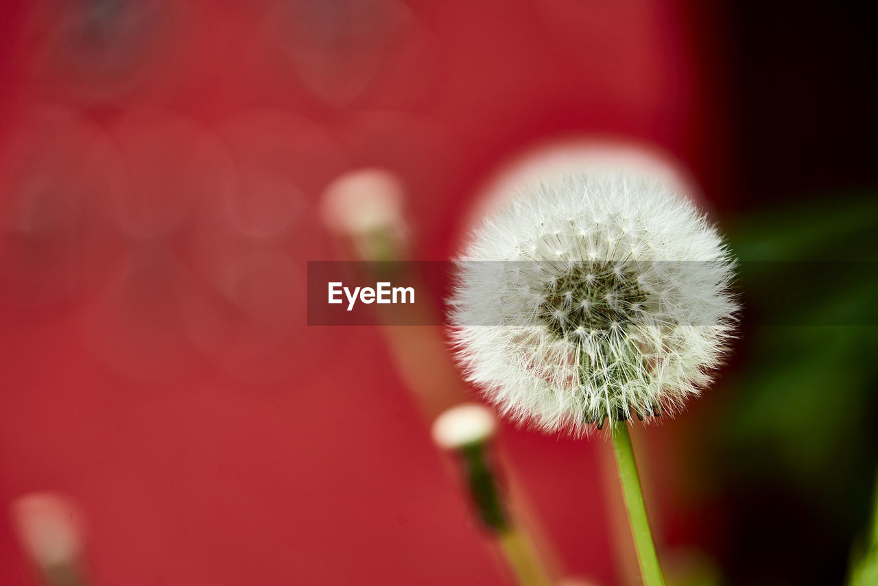 close-up, growth, nature, fragility, focus on foreground, flower, red, no people, white color, beauty in nature, selective focus, day, plant, flower head, outdoors, freshness