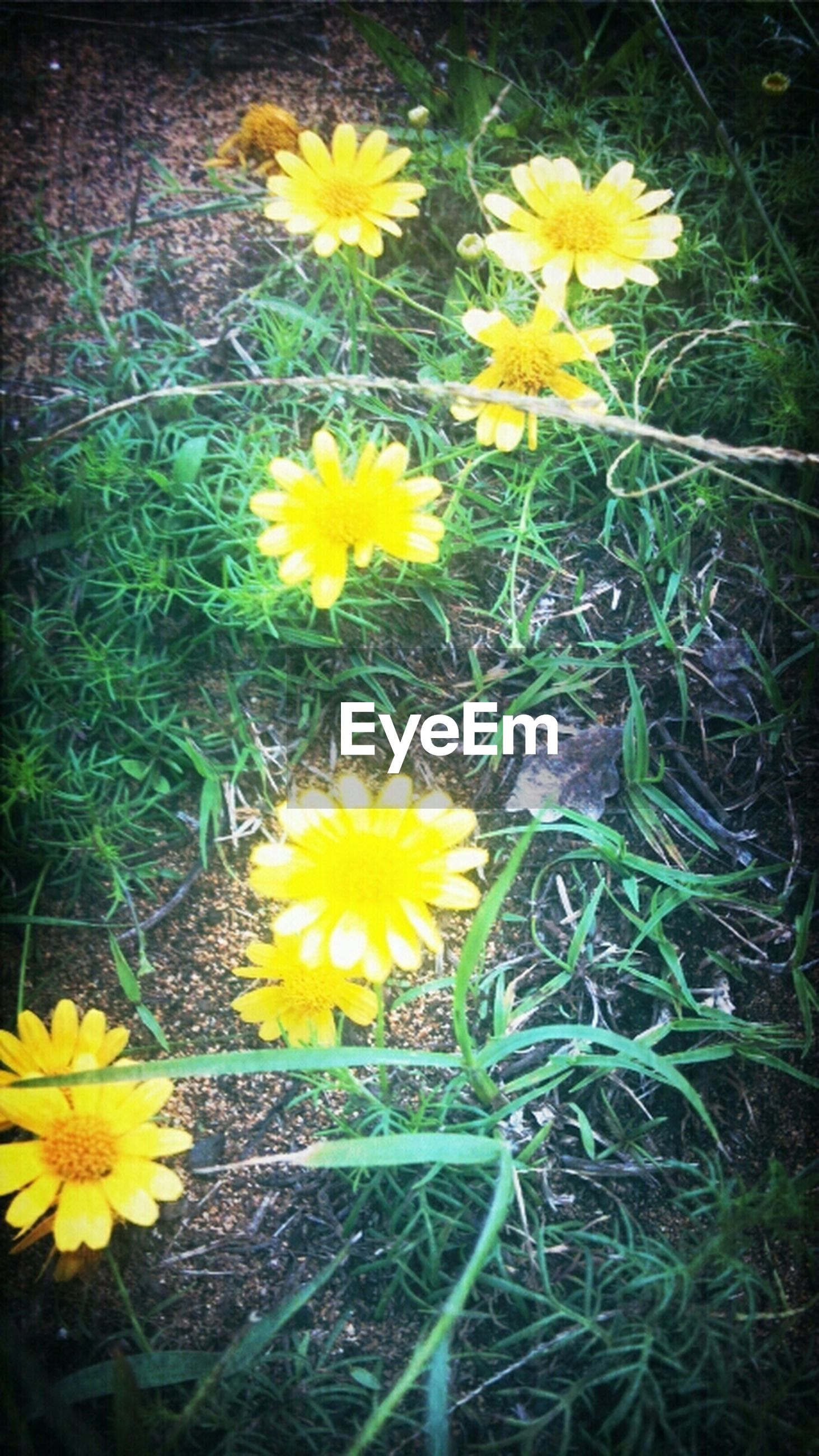 flower, yellow, freshness, fragility, petal, growth, flower head, beauty in nature, blooming, plant, daisy, nature, field, high angle view, in bloom, pollen, wildflower, stem, day, blossom