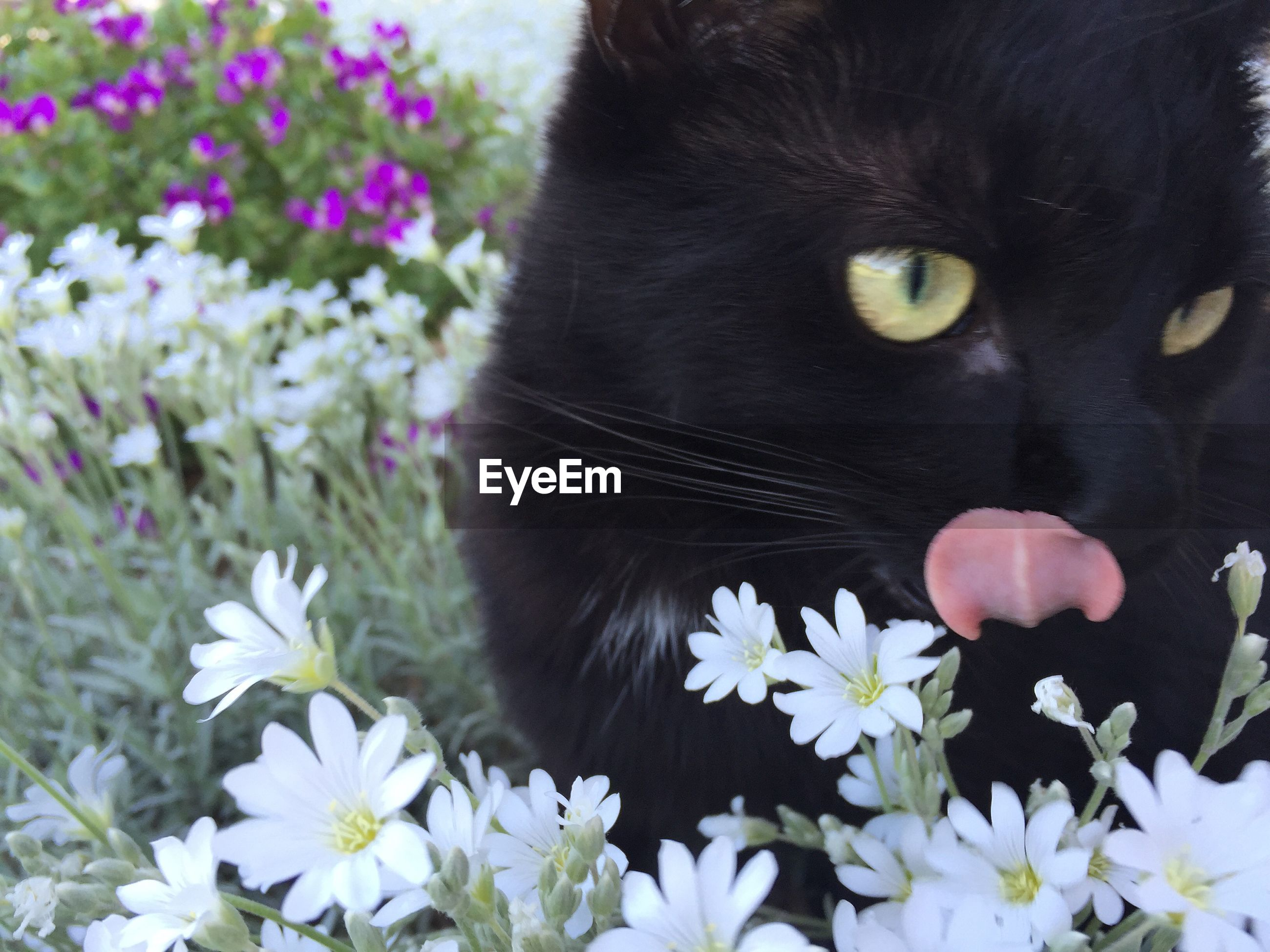 one animal, animal themes, flower, domestic animals, pets, domestic cat, close-up, cat, fragility, petal, white color, mammal, feline, whisker, nature, freshness, beauty in nature, black color, growth, high angle view