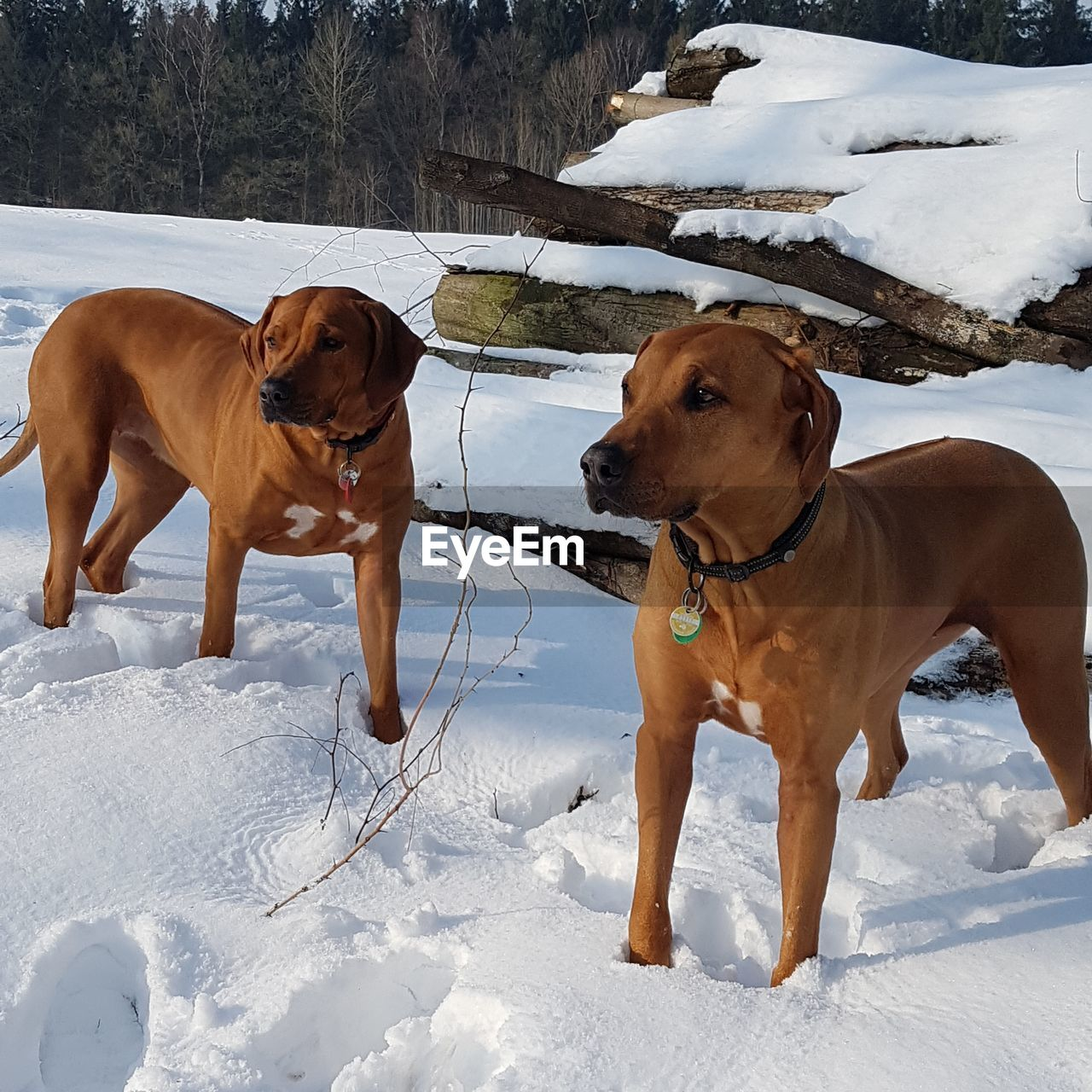 snow, cold temperature, winter, dog, pets, canine, mammal, domestic, domestic animals, animal, animal themes, field, vertebrate, group of animals, land, two animals, nature, covering, no people