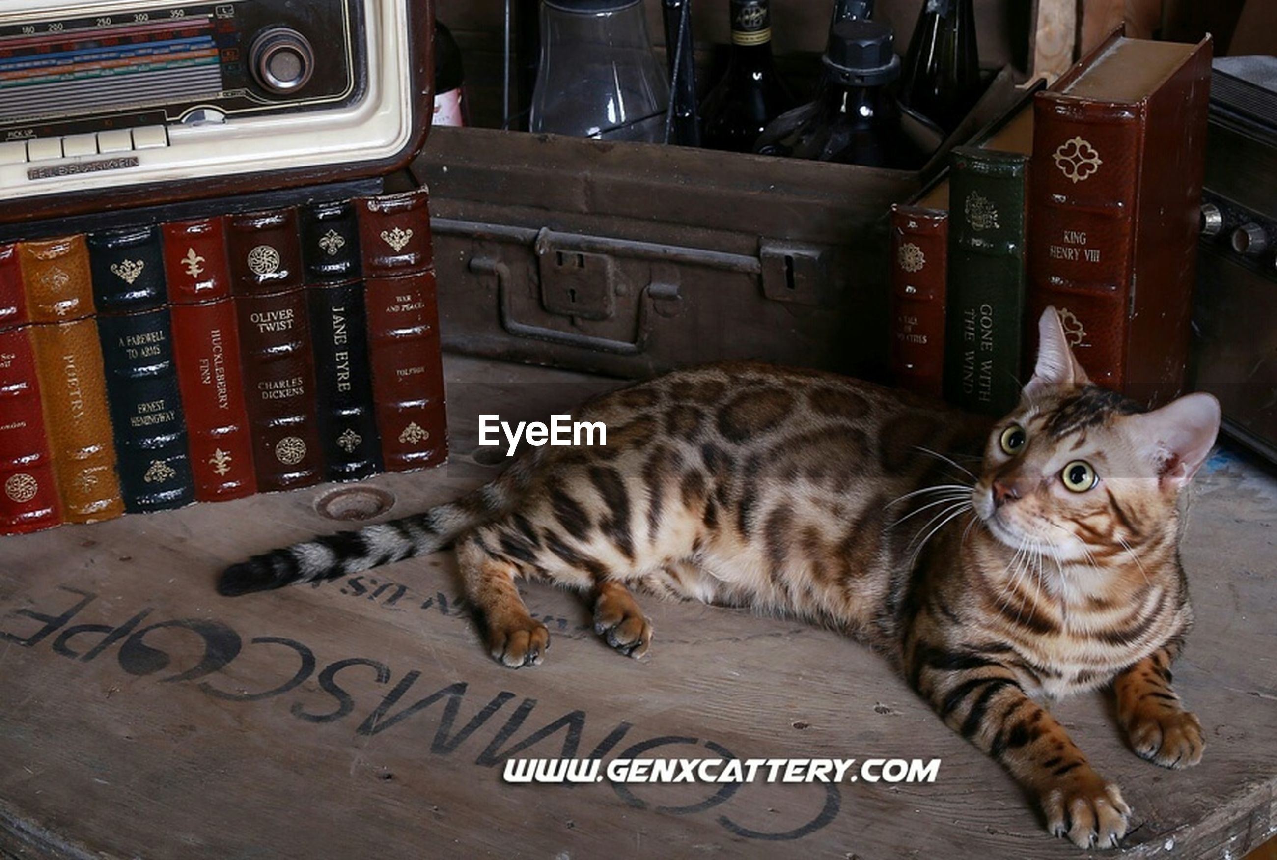 animal themes, one animal, mammal, domestic animals, pets, domestic cat, cat, feline, relaxation, lying down, two animals, whisker, looking at camera, portrait, full length, resting, sitting, no people, text, alertness