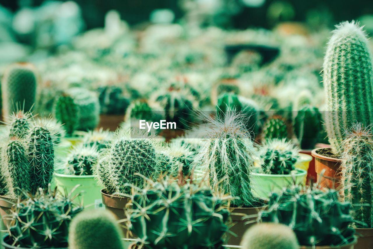Close-Up Of Cacti