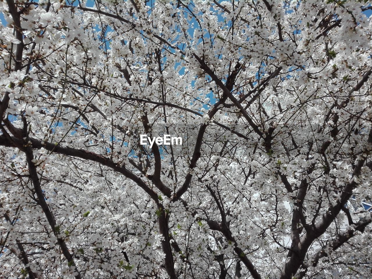 tree, plant, branch, flower, flowering plant, low angle view, blossom, springtime, growth, fragility, nature, beauty in nature, day, no people, cherry blossom, sky, freshness, vulnerability, cherry tree, full frame, outdoors, spring