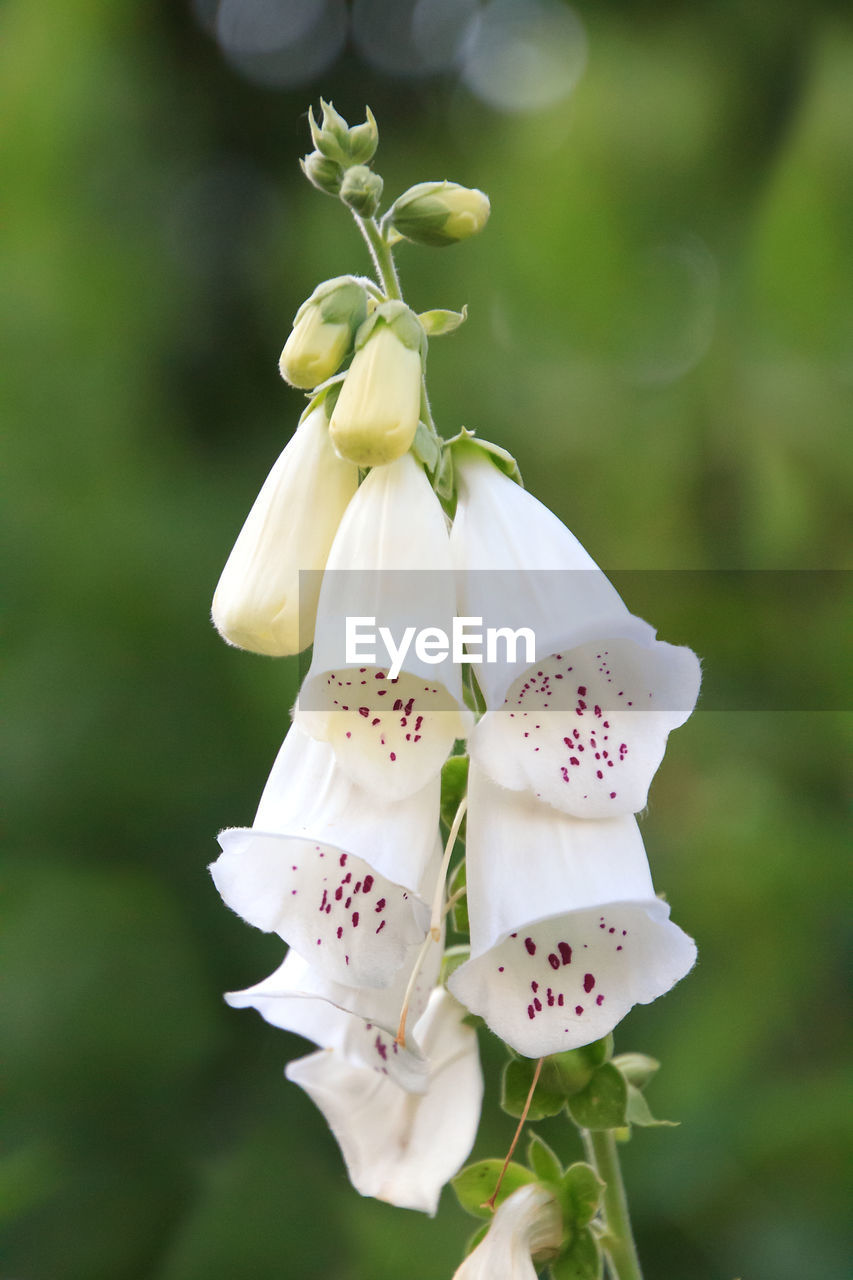 flower, flowering plant, plant, fragility, vulnerability, freshness, beauty in nature, growth, petal, close-up, flower head, inflorescence, focus on foreground, white color, nature, no people, day, pollen, selective focus, outdoors, springtime