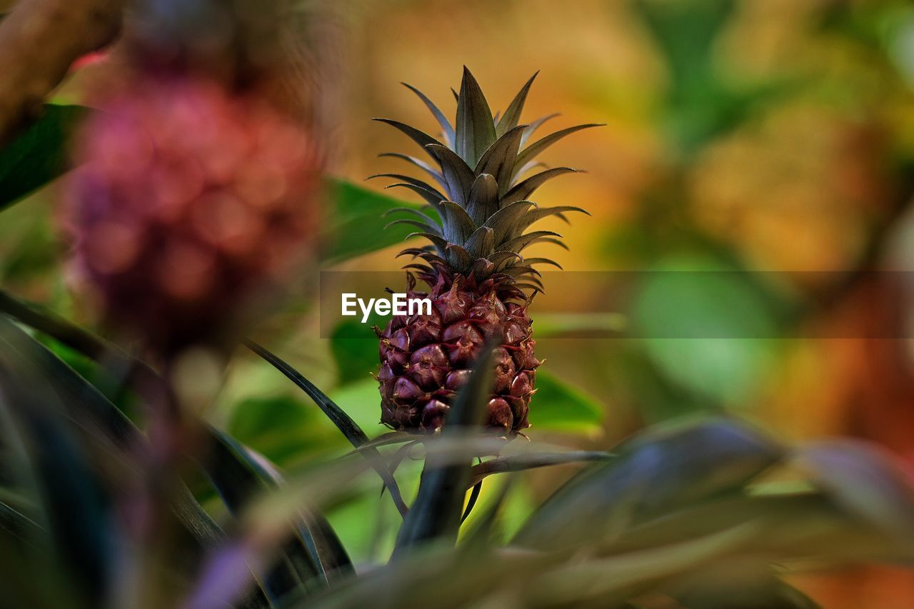 selective focus, fruit, food and drink, healthy eating, food, freshness, close-up, pineapple, growth, plant, no people, tropical fruit, leaf, plant part, wellbeing, day, nature, beauty in nature, green color, outdoors, ripe