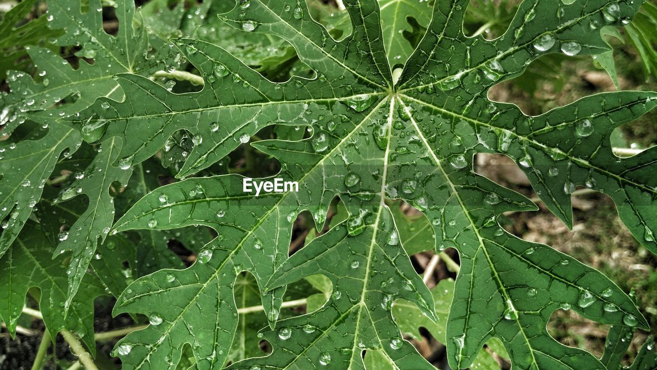 leaf, plant part, green color, wet, drop, plant, backgrounds, full frame, nature, close-up, water, growth, beauty in nature, no people, rain, day, freshness, outdoors, dew, raindrop, purity, rainy season, leaves