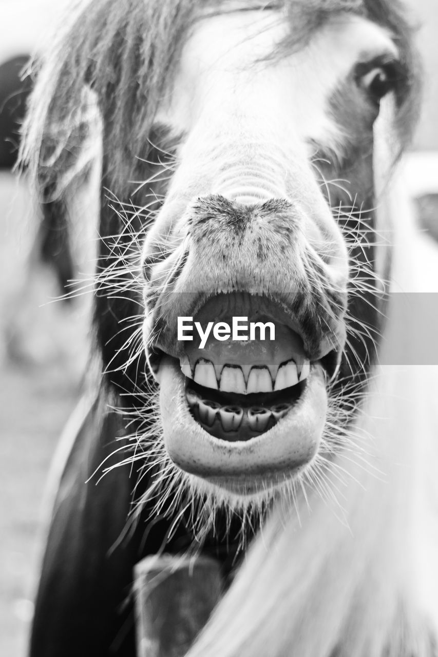 mammal, one animal, animal, animal themes, animal body part, domestic, domestic animals, pets, close-up, vertebrate, animal head, animal mouth, livestock, animal nose, animal teeth, focus on foreground, day, no people, snout, mouth, mouth open, whisker