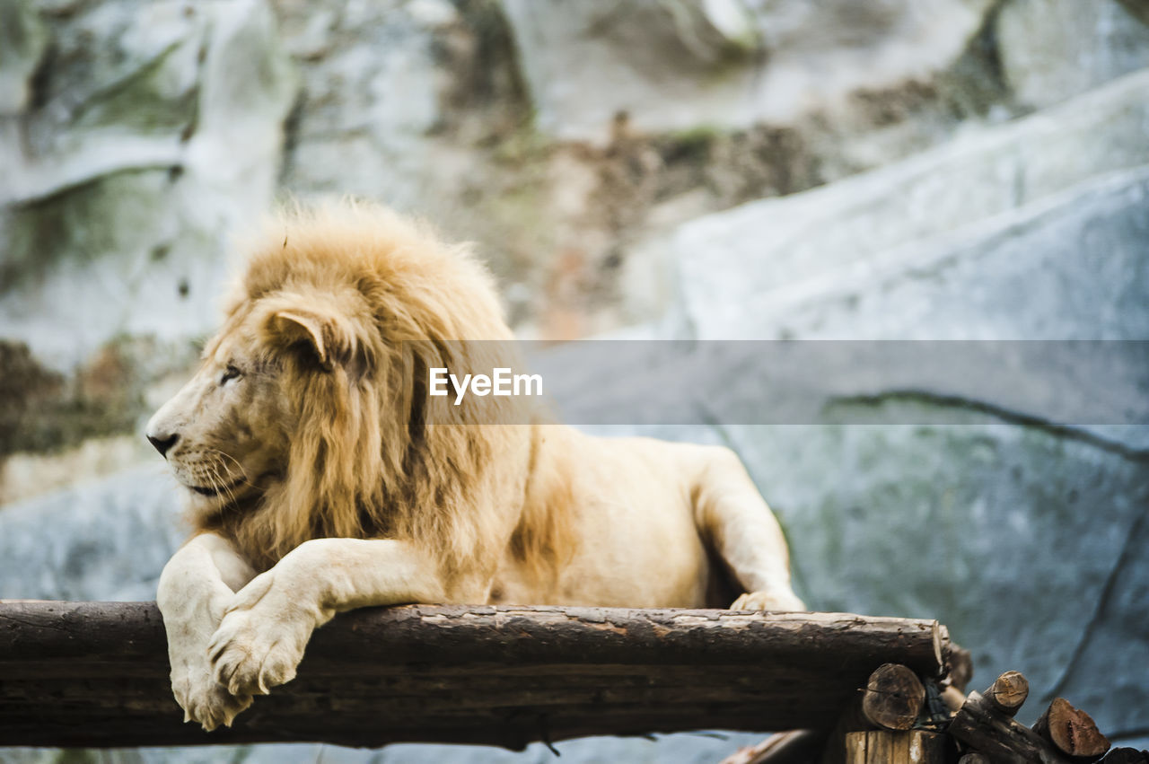 Lion relaxing at zoo