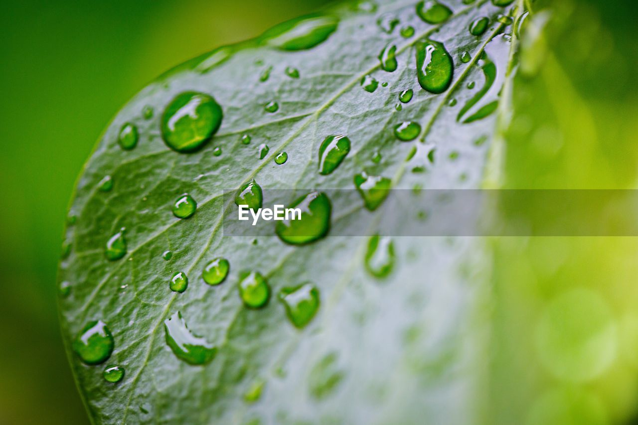 drop, green color, close-up, water, freshness, wet, leaf, plant, no people, growth, beauty in nature, plant part, selective focus, nature, fragility, vulnerability, leaf vein, day, dew, rain, raindrop, rainy season, flower head, leaves