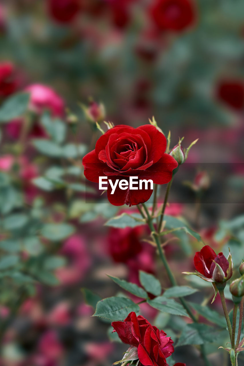 flower, flowering plant, beauty in nature, plant, freshness, vulnerability, red, fragility, petal, rose, rose - flower, flower head, close-up, inflorescence, focus on foreground, growth, nature, no people, day, leaf, outdoors