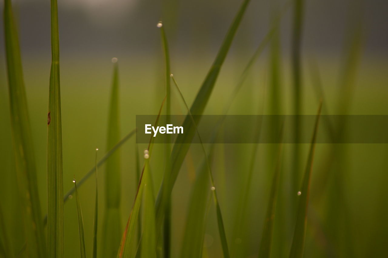 growth, plant, green color, beauty in nature, close-up, nature, selective focus, grass, no people, blade of grass, water, day, tranquility, freshness, vulnerability, wet, drop, fragility, outdoors, bamboo - plant, dew