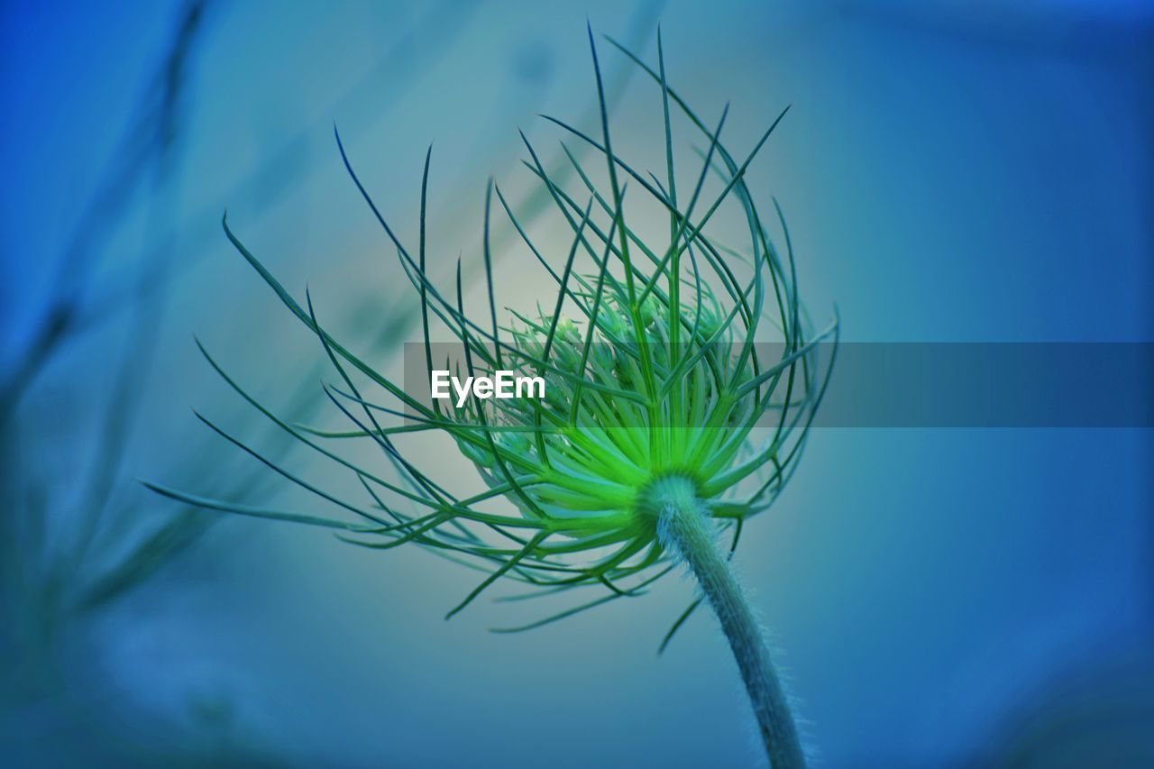 plant, growth, close-up, green color, beauty in nature, nature, blue, vulnerability, no people, fragility, freshness, flower, focus on foreground, flowering plant, day, selective focus, sky, outdoors, low angle view, botany, flower head, sepal, blade of grass