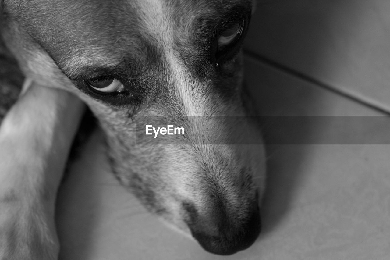 one animal, domestic, domestic animals, pets, animal themes, dog, canine, mammal, animal, vertebrate, indoors, close-up, relaxation, animal body part, flooring, no people, looking, looking away, animal head, home interior, animal eye, animal nose, snout