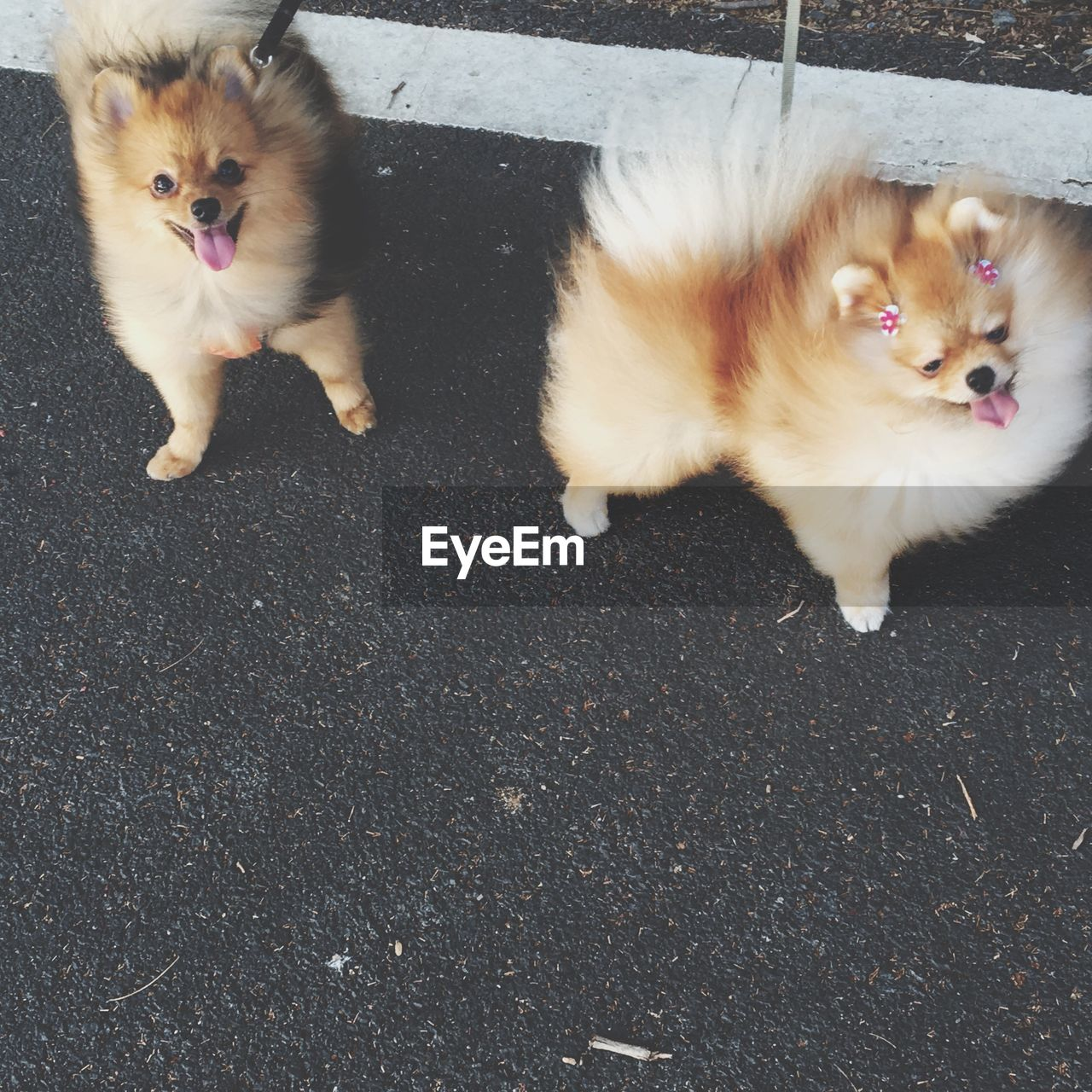 Portrait Of Two Pomeranians
