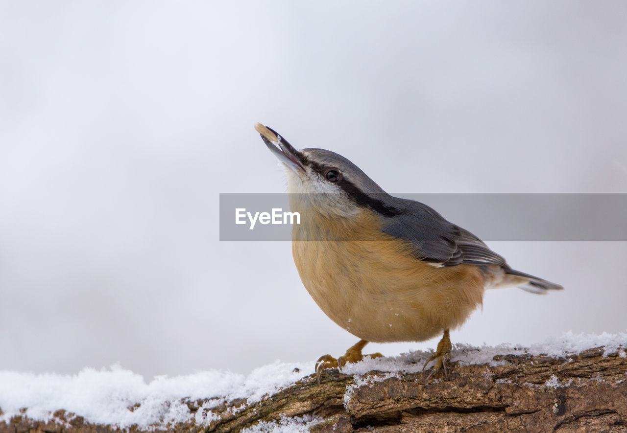 bird, cold temperature, snow, animals in the wild, winter, vertebrate, one animal, animal, animal wildlife, animal themes, perching, day, no people, nature, focus on foreground, close-up, outdoors, beauty in nature, white color
