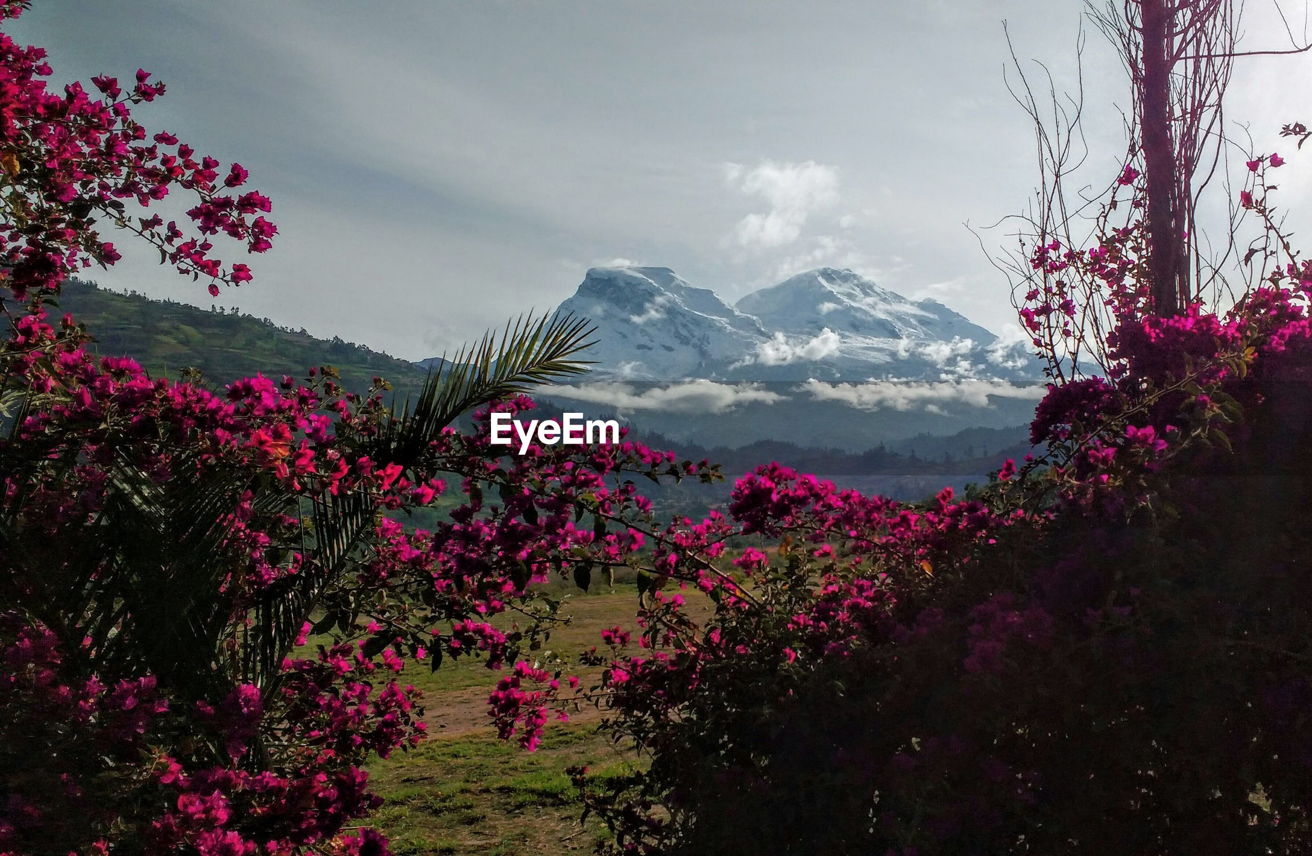 PINK FLOWERING PLANTS AGAINST TREES AND MOUNTAIN AGAINST SKY