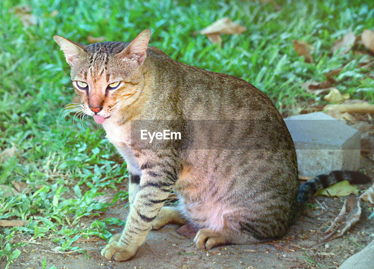 feline, cat, one animal, mammal, pets, domestic animals, domestic, domestic cat, vertebrate, plant, whisker, no people, looking at camera, field, land, day, grass, tabby, ginger cat
