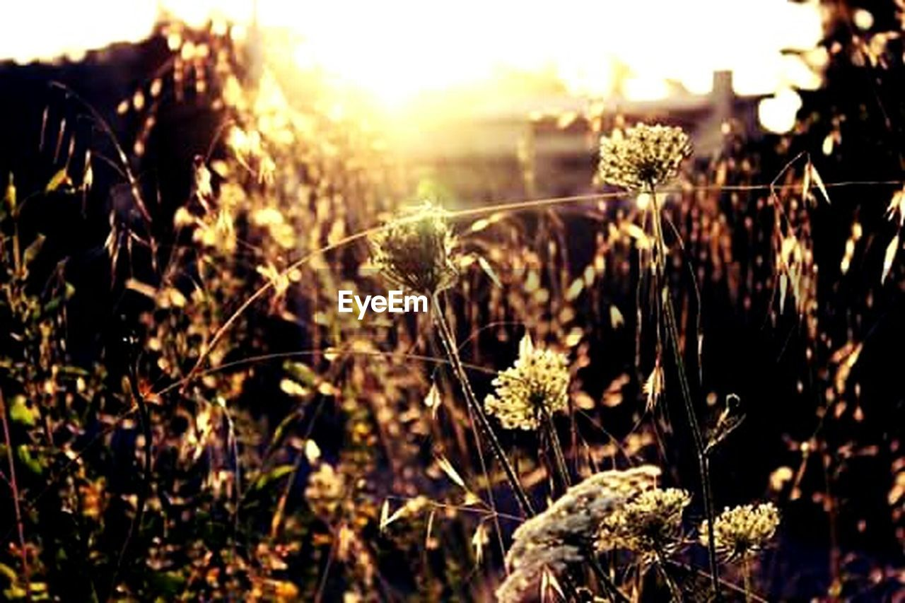 growth, nature, plant, sunlight, field, flower, sun, sunset, outdoors, no people, summer, rural scene, agriculture, beauty in nature, freshness, close-up, day, grass, fragility, flower head