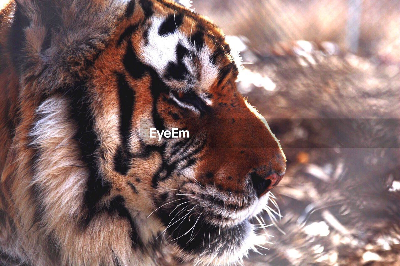 Profile View Of Tiger At Serenity Springs Wildlife Center