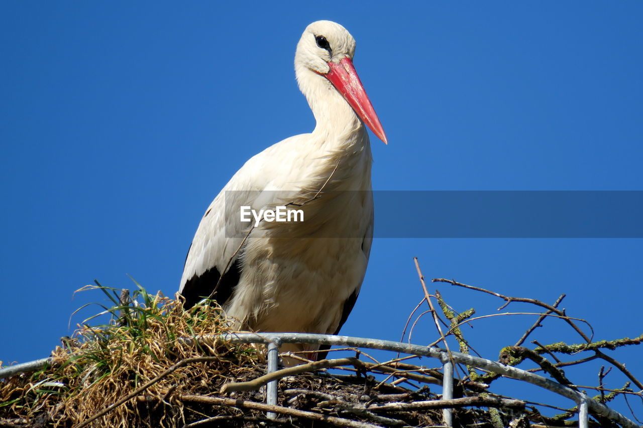 bird, vertebrate, animal themes, animal, sky, low angle view, animals in the wild, animal wildlife, one animal, clear sky, perching, blue, no people, nature, day, copy space, plant, branch, stork, tree, outdoors, beak
